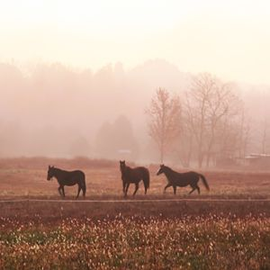 Sangho horses