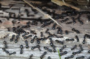 Ant Takeover - Michael Rogers Photography