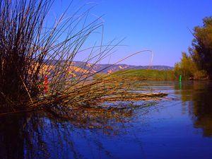 Blue Reeds