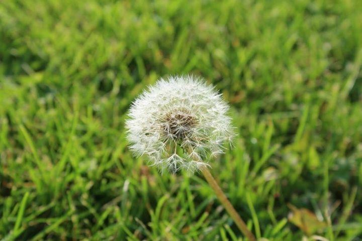 A Dandelion in the Field - Madison Czer