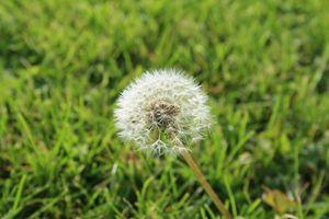 A Dandelion in the Field