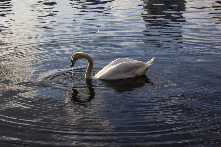 Swan at dawn - Scenery