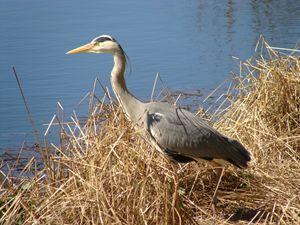 Ardeidae - The Heron - Lori Webb
