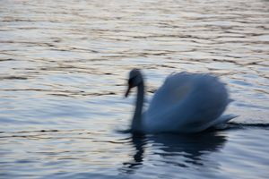 swan, the king of lake