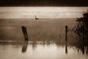 Great heron in morning mist
