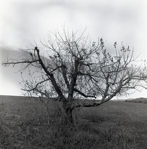 Withered Apple Tree