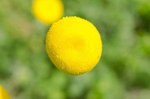 False Artemisia (Cotula),