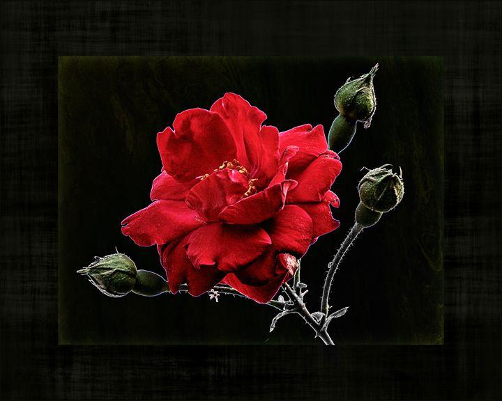 The Brave Rose - Rybird