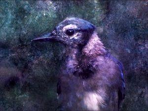 The Jay - Rybird