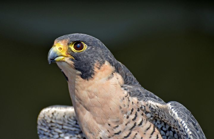 Falcon Picture - najih7