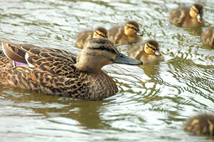 Family Of Ducks - Black River Images
