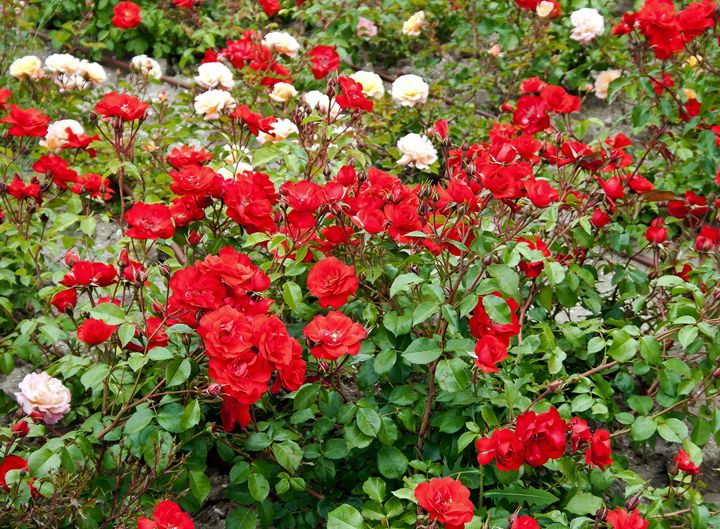 Roses on flowerbed - Igor