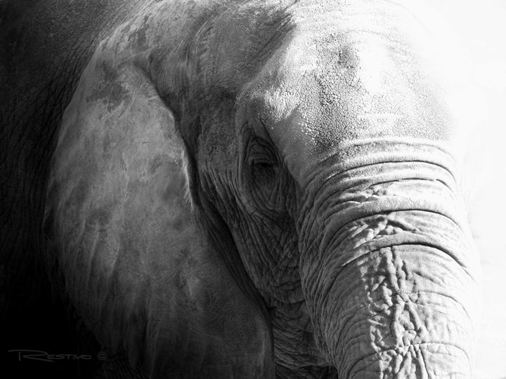 The Old Elephant - Terry Restivo