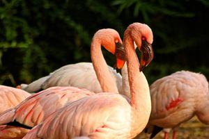 Flamingos of the Dallas Zoo