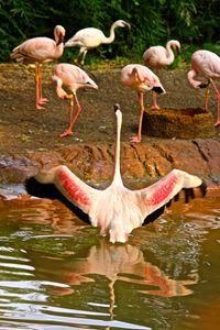 Flamingo Flap