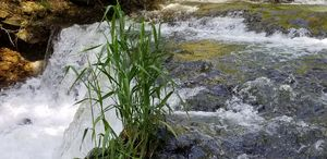 Grass in River