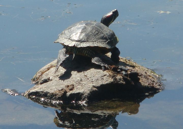 Turtle Reflected - Earthworks Art Designs and Photography