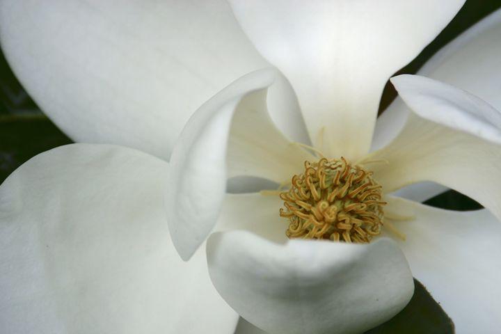 Elegant magnolia - Sue Rode Photography