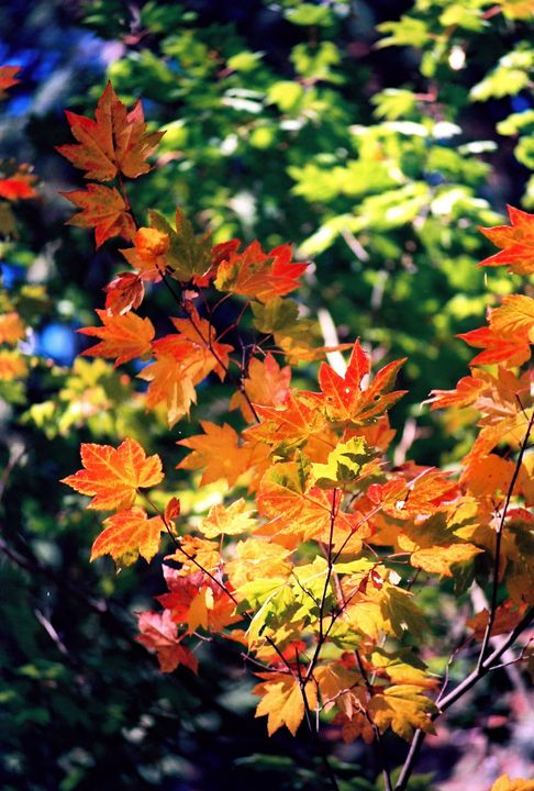 Fall leaves - Sue Rode Photography