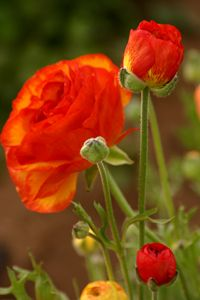 Orange-red ranunculus