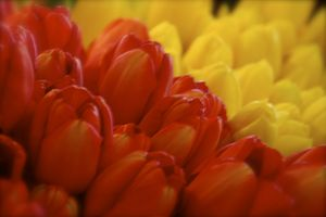 Pillow soft tulips