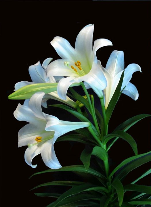 Easter Lily - My Favorite Photos