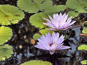Violet Water Lilies