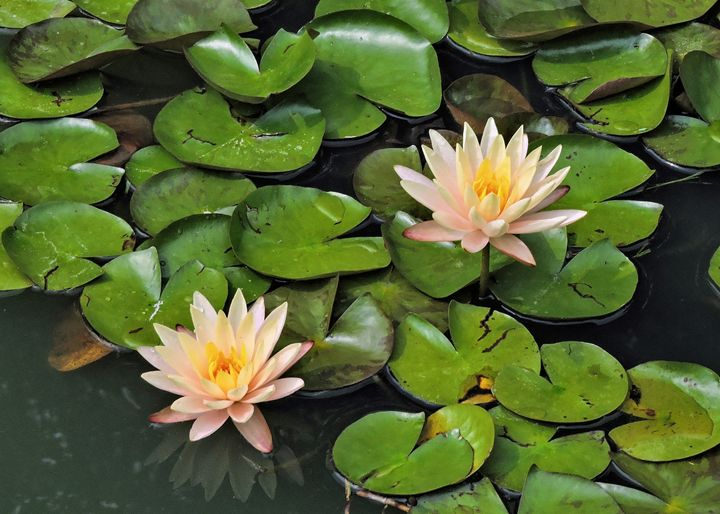Water Lilies - My Favorite Photos
