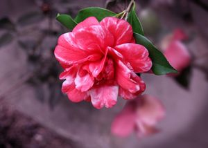 Reflections of a Camellia