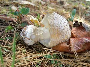 Uprooted Mushroom