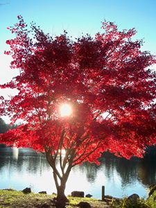 Sunset through Japanese Maple, Lake
