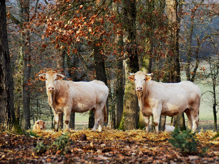 French cows in woodland - Helen A. Lisher