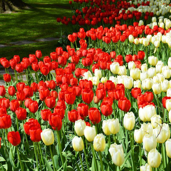 Beautiful tulips - Helen A. Lisher