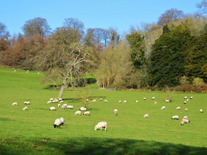 Sheep in the winter sunshine - Helen A. Lisher