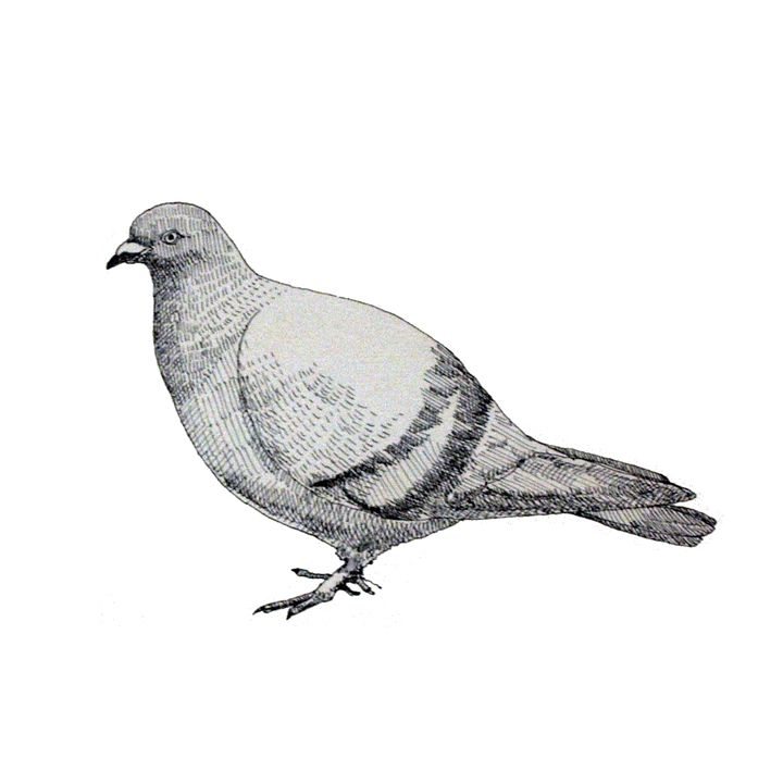 Pigeon - Papo Dsign Gallery