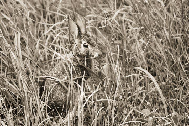 Brown Hare - Gustavo B Photography