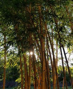 Sparkling Bamboo