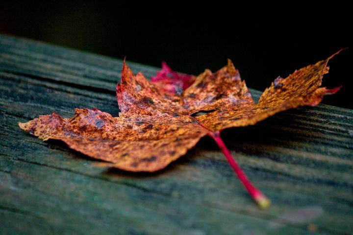 Fallen Leaf - Light By Dawn