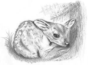 Nestled Fawn