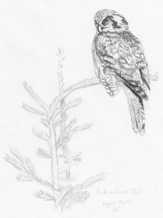Northern Hawk Owl - Brenda Davidson