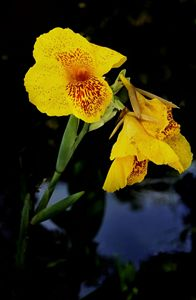 canna indica( Indian shot) flowers