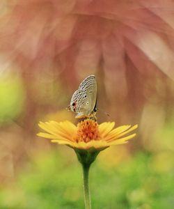 Dakhan cupid Butterfly on flower