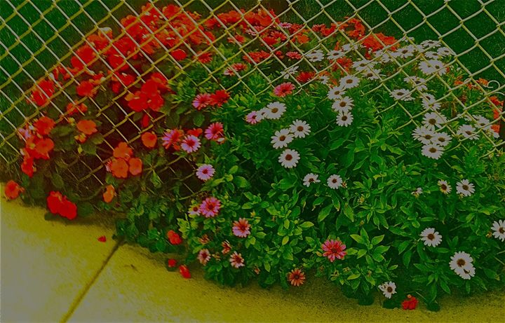 FLOWERING THROUGH THE FENCE - Tirzah Fujii