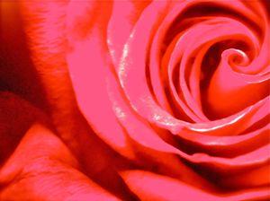 THE REDDEST ROSE