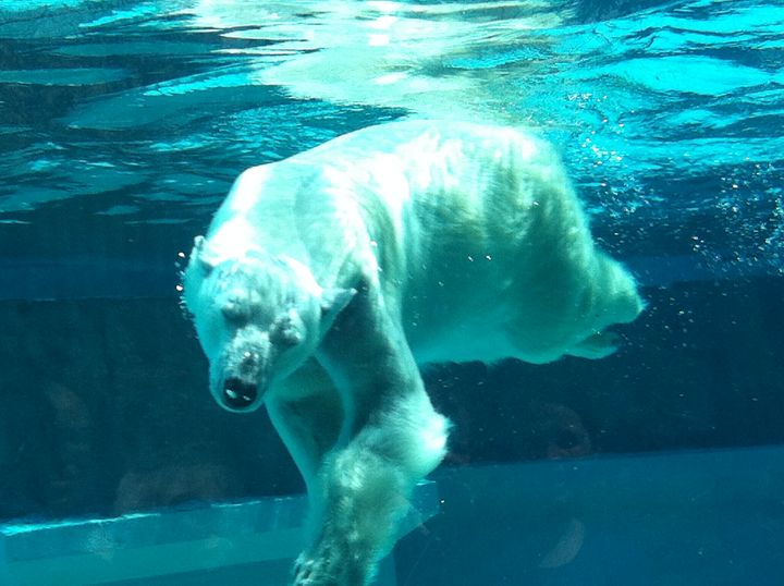 GRACEFUL SWIMMING POLAR BEAR - Tirzah Fujii