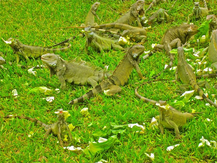 HOLY BRIGHT GREEN HUNGRY IGUANAS! - Tirzah Fujii