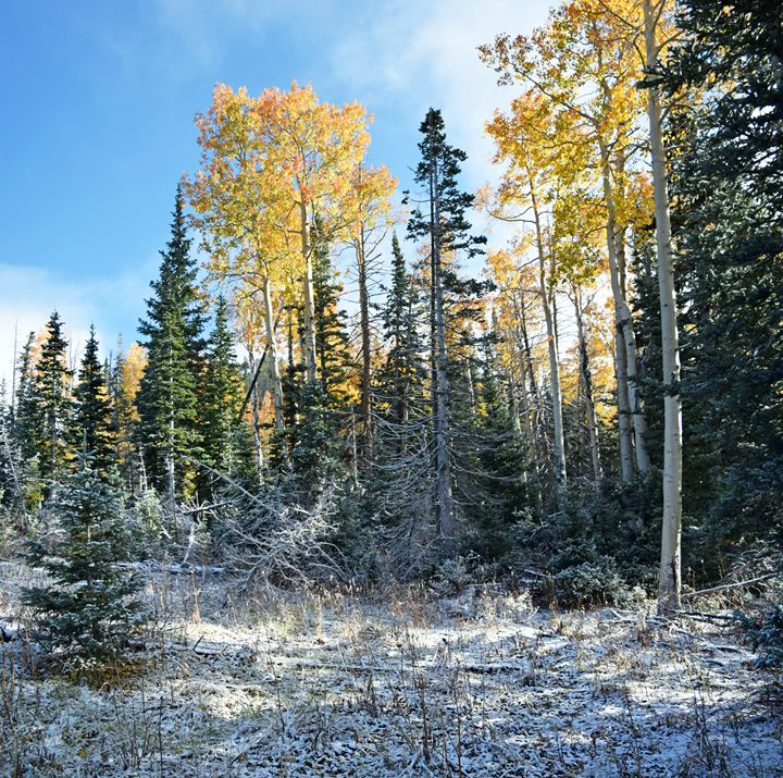 Aspens in the Snow - SonyaMariePhotography