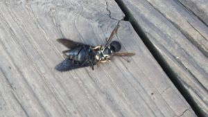 wasp eating insect