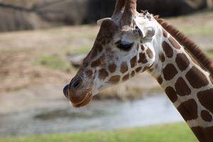 Reticulated Giraffe - Mollie Backode
