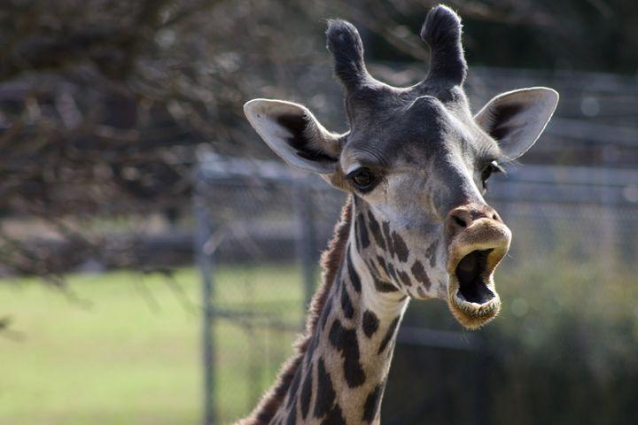 Masai Giraffe - Mollie Backode